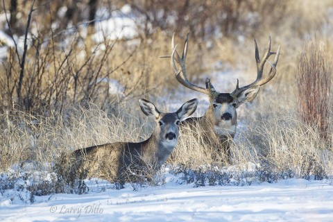 Well insulated for cold weather, a buck and doe mule deer resting near a thicket of scrub trees.