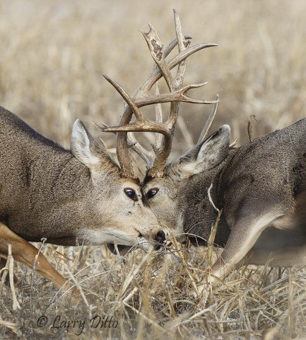 In spite of many clashing points, both bucks kept their eyes open during this combat.