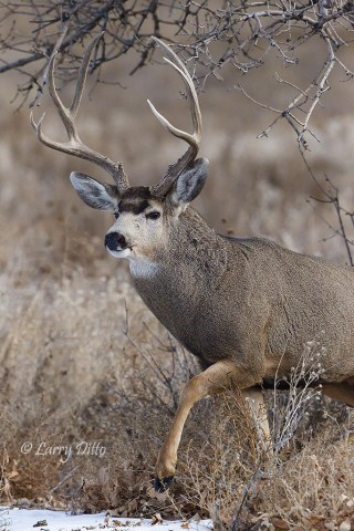 A third large bucking coming to the fight.  He hopes to steal a doe while the dueling bucks are preoccupied.