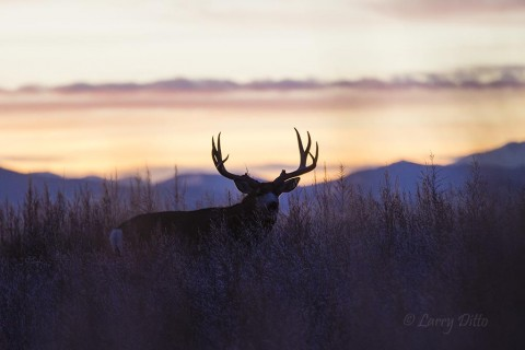 As daylight fades on the Rockies, a big buck leaves his bedding area.