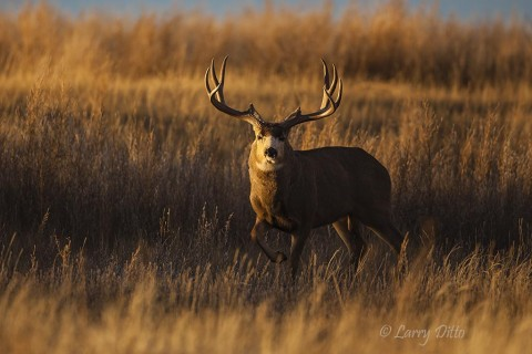 Many large bucks move out into the grasslands to find bedding cover.