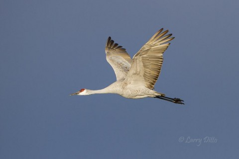 Sandhill Crane in flight during early morning against a clear sky.