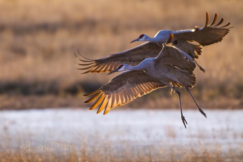 Sandhill Cranes landing at sunset.