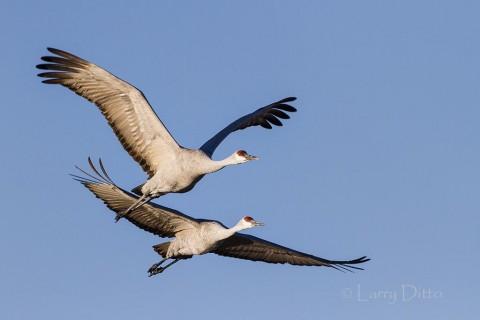 Sandhill Crain pair in flight.
