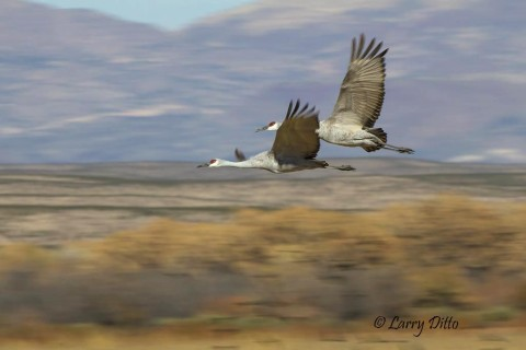 Cranes above the desert croplands.