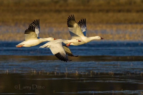 Small groups of snow geese can be captured at the roost ponds with larger telephotos.
