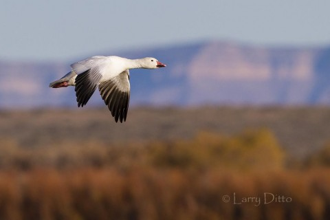Snow geese going to roost at sunset are set off against distant mountains on the White Sands Missile Range.