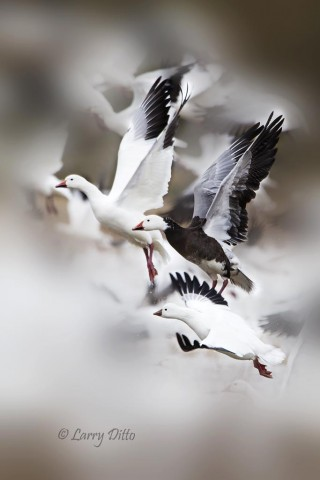 The Bosque goose flock is a mix of white birds, blue color morph and Ross's geese (bottom).