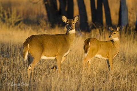 Doe and fawn white-tailed deer soaking up the warming afternoon sun.