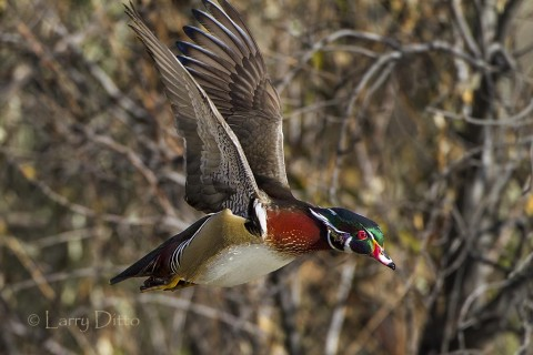 Male wood duck landing in flooded cottonwoods near Albuquerque.