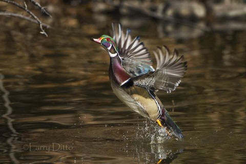 Male wood duck takeoff.