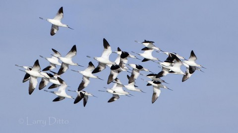 American Avocets heading to a marsh at Aransas National Wildlife Refuge.