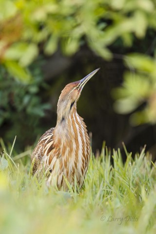 American Bittern blending in at the edge of a wooded marsh.