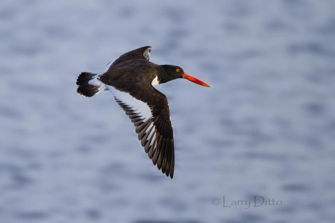 American Oystercatcher circling the boat.