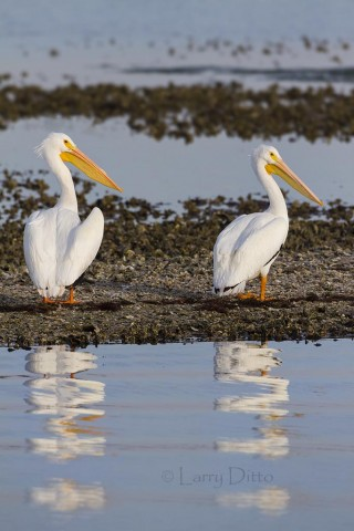 Pair of American White Pelicans resting on an oyster bar in Aransas Bay.