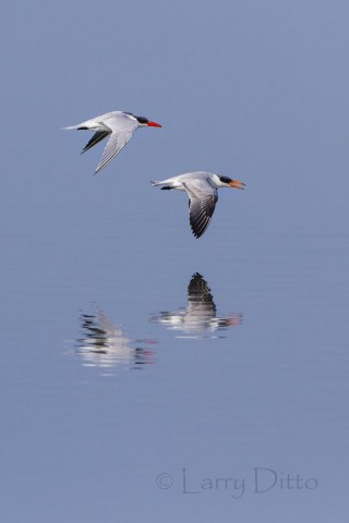 Caspian Terns reflected on a calm bay as they fly close to the water's surface.