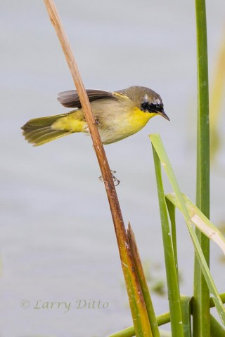 Common Yellowthroat feeding among the cattails.