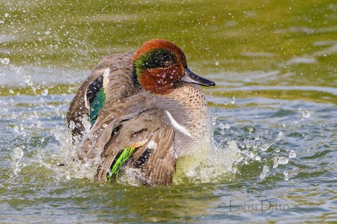Green-winged Teal bathing.