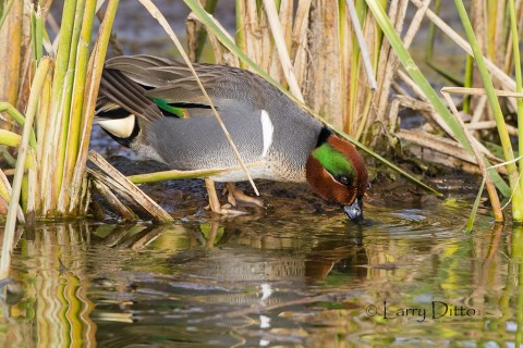 Green-winged Teal drake drinking.
