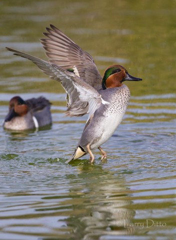 Green-winged Teal drake takeoff.