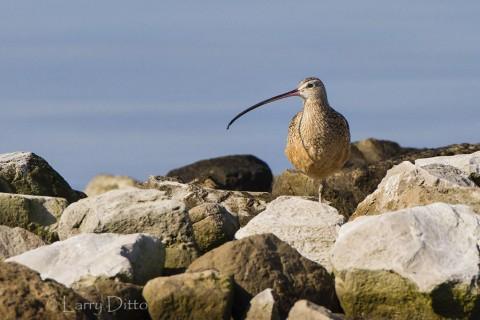 Long-billed curlew standing on a rock jetty that protects a boat channel near the intracoastal waterway.
