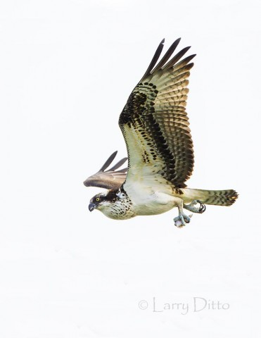 Osprey carrying the last morsel of it fish lunch.