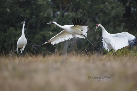 Whooping crane disturbing a pair as it lands between them.
