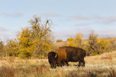 Ancient bull American bison feeding on the south side of a hill just after sunrise.