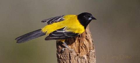 Audubon's Oriole on perch.