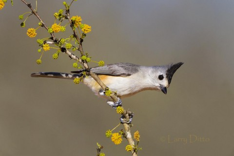 Black-crested Titmouse perched in blooming huisachillo bush.