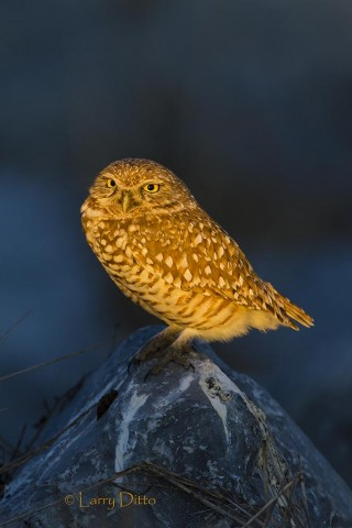 Burrowing owl ready to begin a night of hunting.
