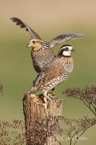Pair of Northern Bobwhites sharing a perch.