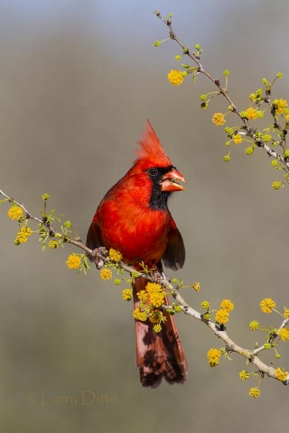 Male Northern Cardinal perched in a thorny huisachillo.
