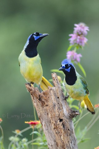 Green Jays on mesquite stump in wildflowers