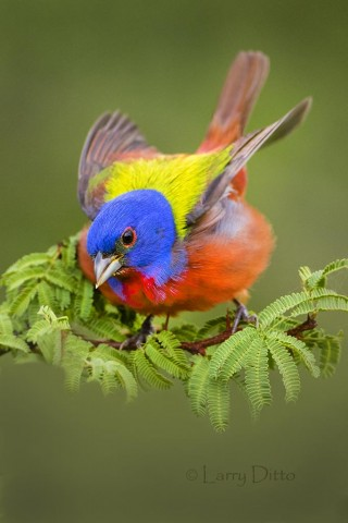 Painted Bunting_79A8935
