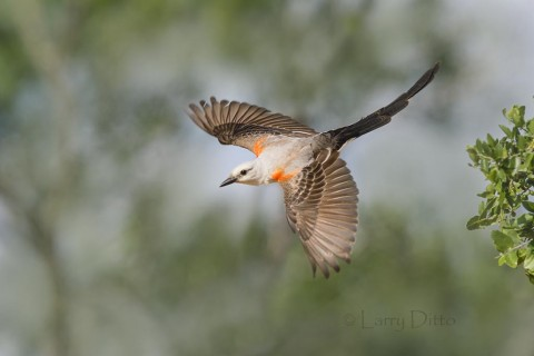 Scissor-tailed Flycatcher in flight, Santa Clara Ranch