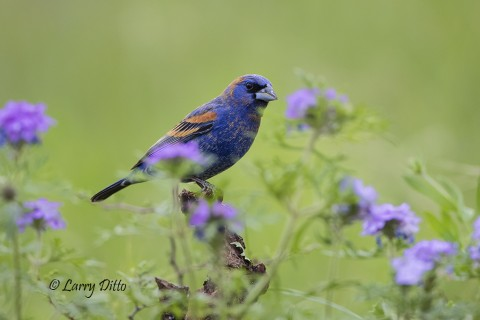 Blue Grosbeaks were just arriving as our time at Transition Ranch ended.
