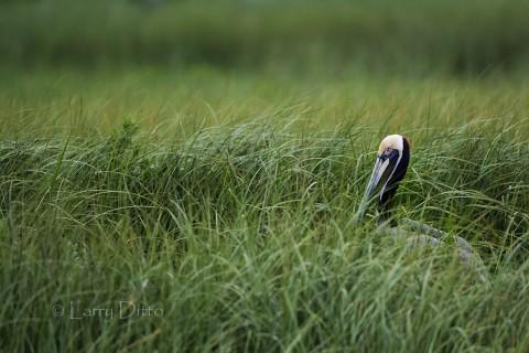 Brown Pelican nesting on a grassy island near Galveston, Texas.