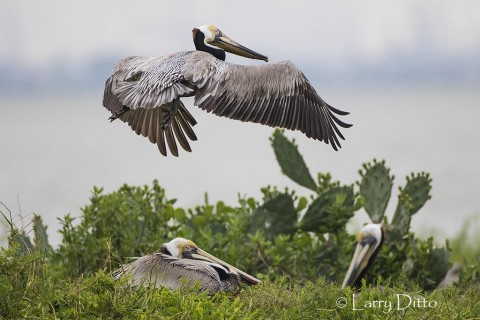Brown Pelicans nesting on an island in Galveston Bay, Texas.