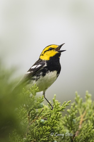 By next spring, the ranch owner anticipates having additional blinds in place where golden-cheeked warblers and black-capped vireos may come to drink.