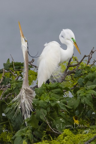 Great blue heron and great egret displaying at a nesting colony on the Texas coast