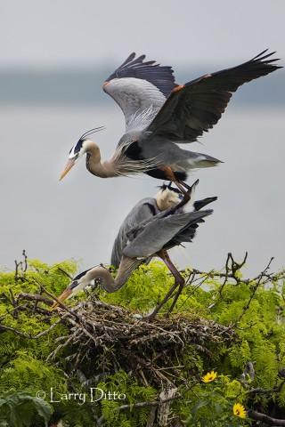 Great Blue Heron pair breeding at nest colony on Texas coast