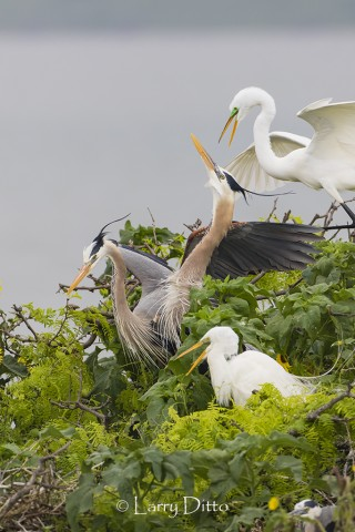 Great Blue Herons and Great Egrets nesting in thorny brush on the Texas gulf coast.