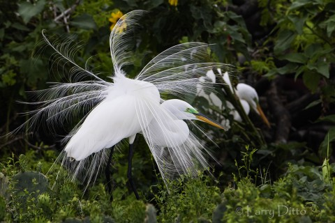 Great Egret displaying showy plume feathers.