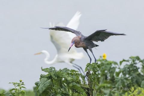 Reddish Egret landing at nest with great egret in background
