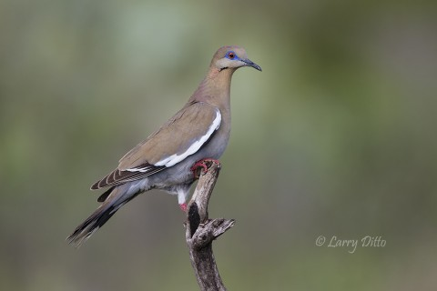 White-winged doves have established some large nesting colonies on the Transition Ranch.