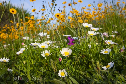 Asters and coreopsis in bloom, Rockport, Texas