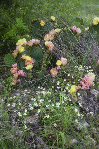 The hills were covered in prickly pear cactus abloom with yellow and peach colored flowers.
