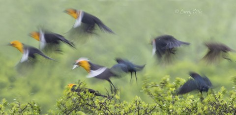 Flushing Yellow-headed Blackbird photographed at 1/30 second during an afternoon rain.