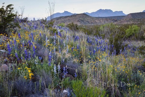 Wildflowers and Chisos Mountains at Big Bend National Park.